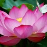2-lotus-230x154