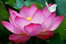 2-lotus-230×154
